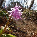 登山道に咲くショウジョウバカマ