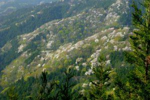 藤倉山から見る遠山桜