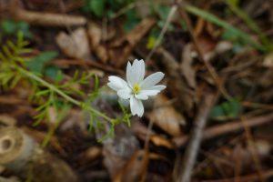 山頂に咲くプチコスモス